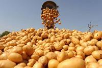 Томичей приглашают помочь в уборке картофеля для нуждающихся