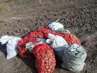 Гуманитарный епархиальный погреб пополнился новым урожаем картофеля